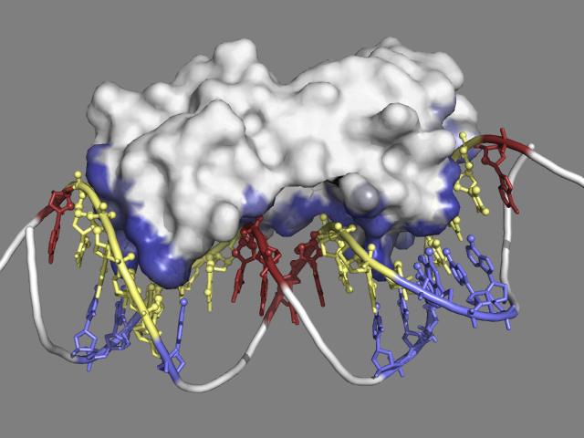 Multiple antibiotics resistance activator (MarA, PDB code 1bl0)